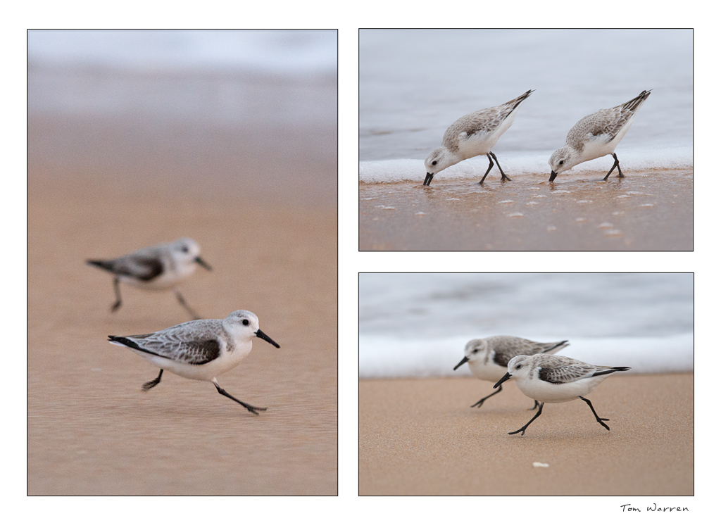 Sandpipers_wordpress