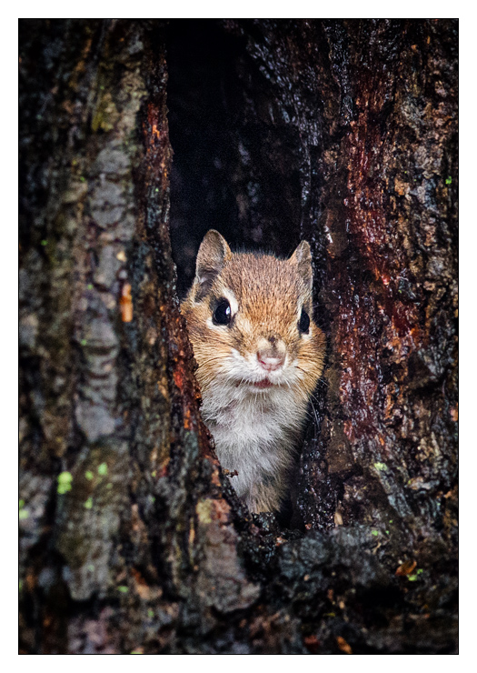 EasternChipmunk_wordpress
