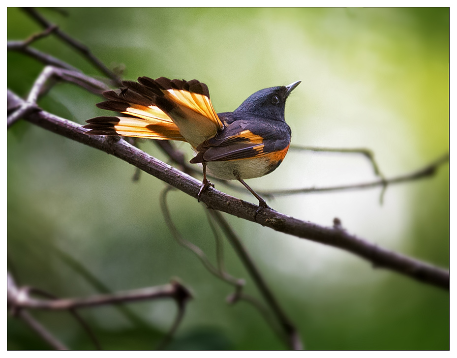 Redstart_wordpress