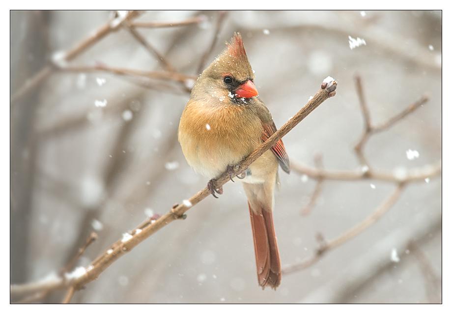 snowcardinal_wordpress
