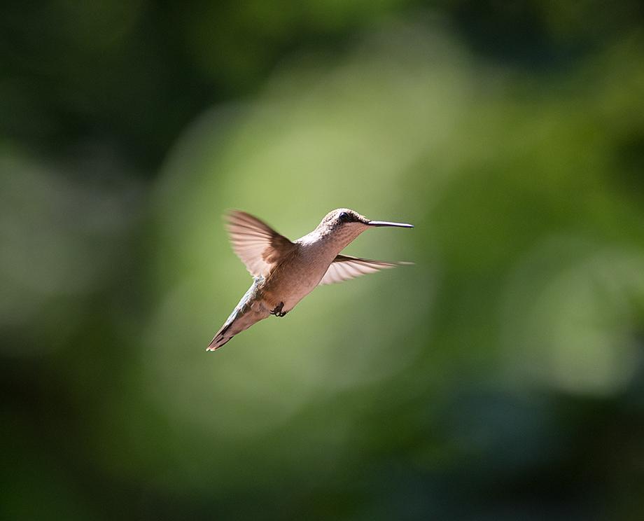 Hummingbird_wordpress