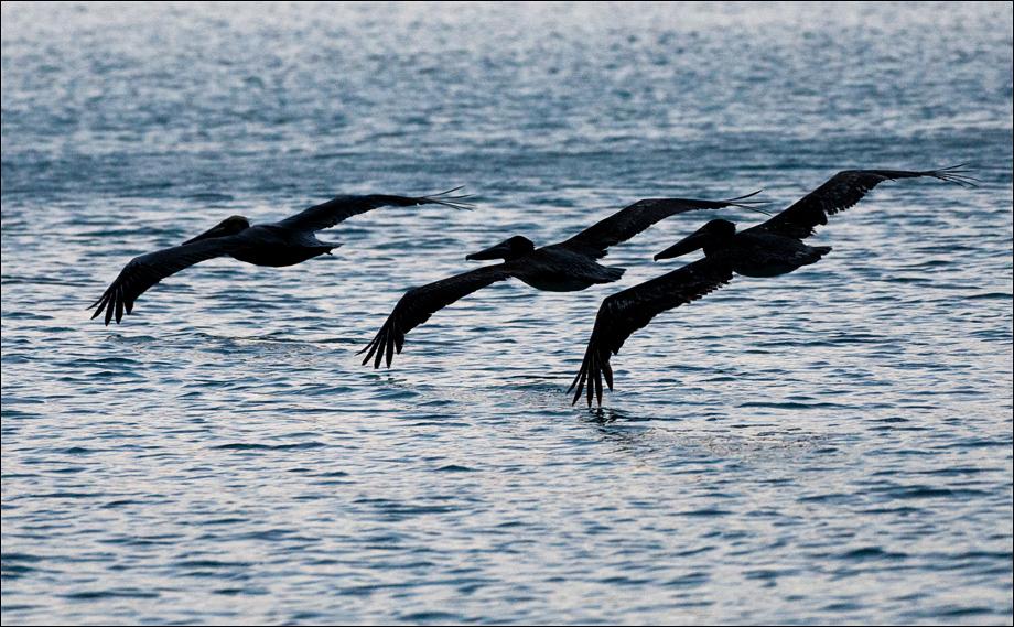 Pelicans2_wordpress