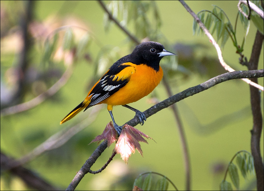 Oriole_wordpress
