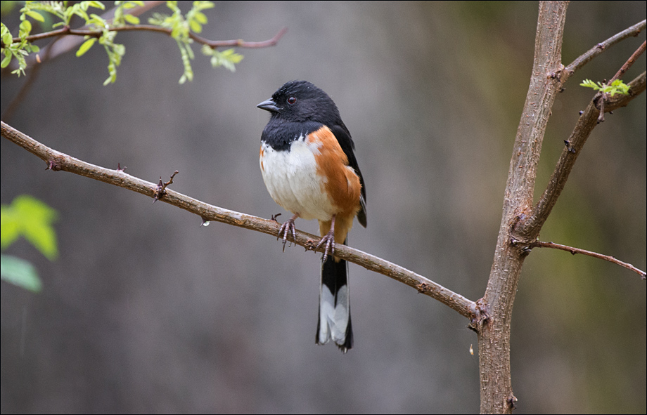 Towhee_wordpress