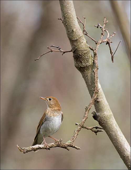 Veery_wordpress