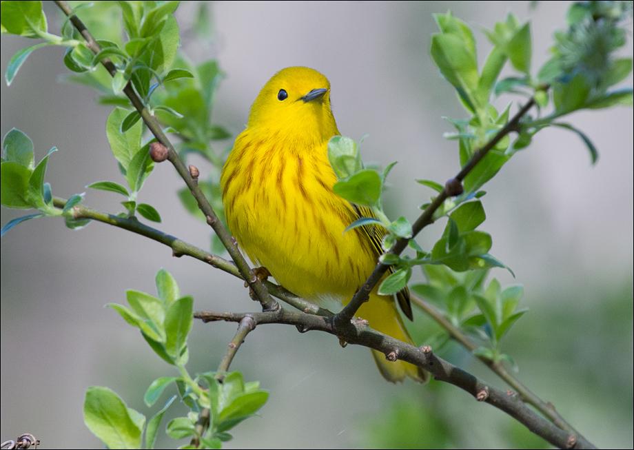 YellowWarbler1