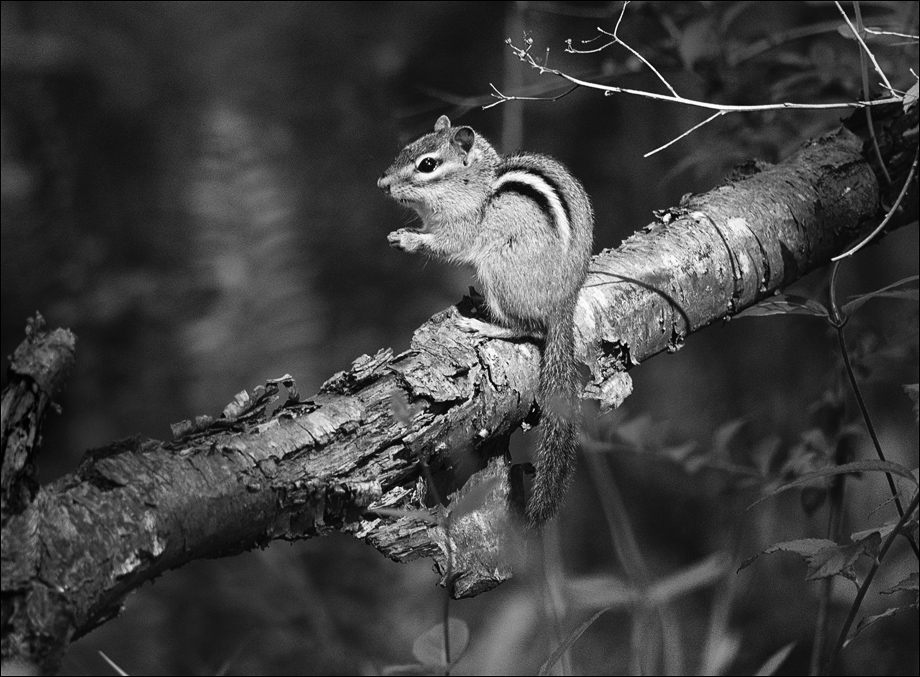 Chipmunk_bw_wordpress