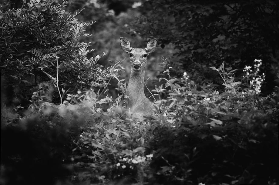 Deer_bw_wordpress