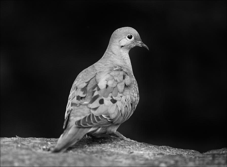 Dove_bw_wordpress