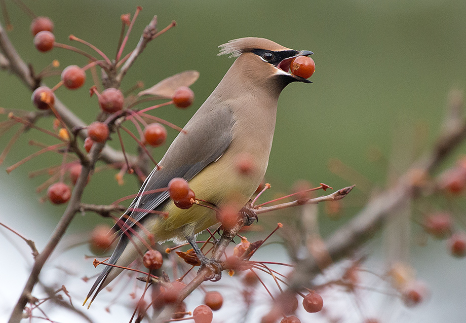 CedarWaxwing_wordpress