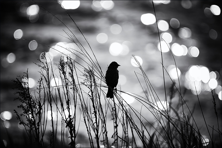 FemaleBlackbird_wordpress
