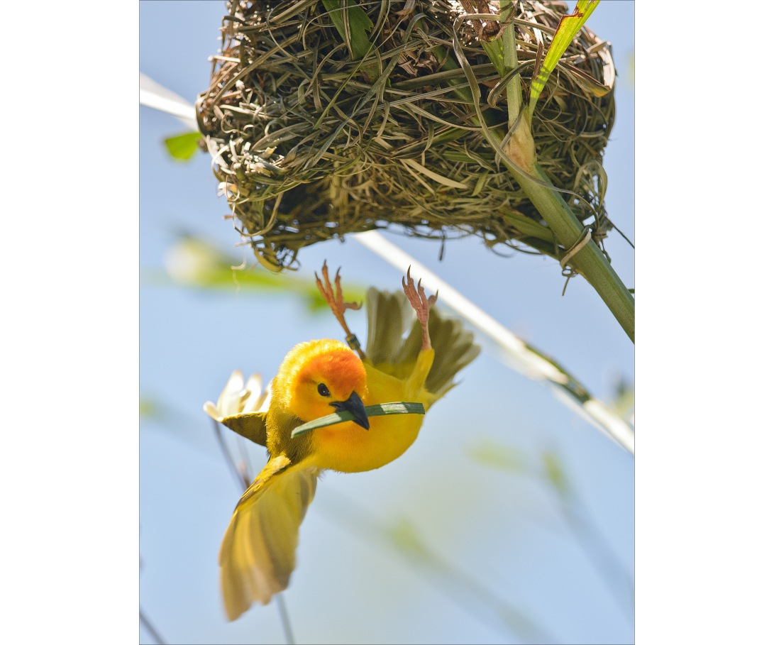 GoldenWeaver2 copy