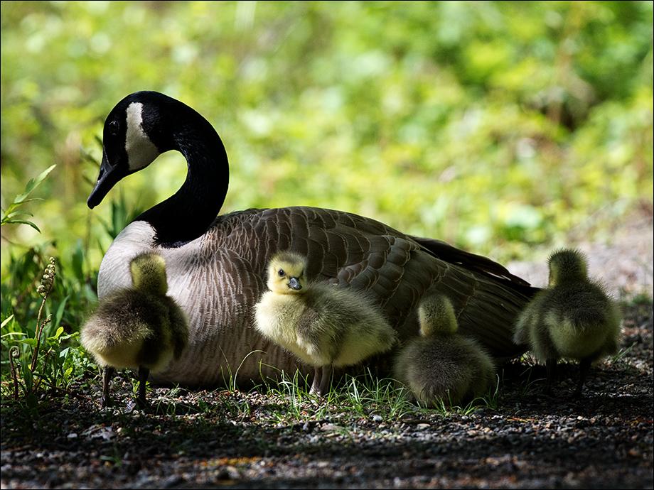 Goslings_wordpress