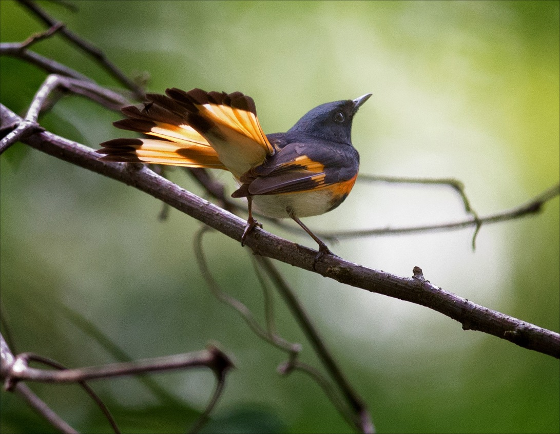 Redstart_wordpress2