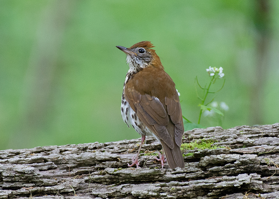 WoodThrush_wordpress