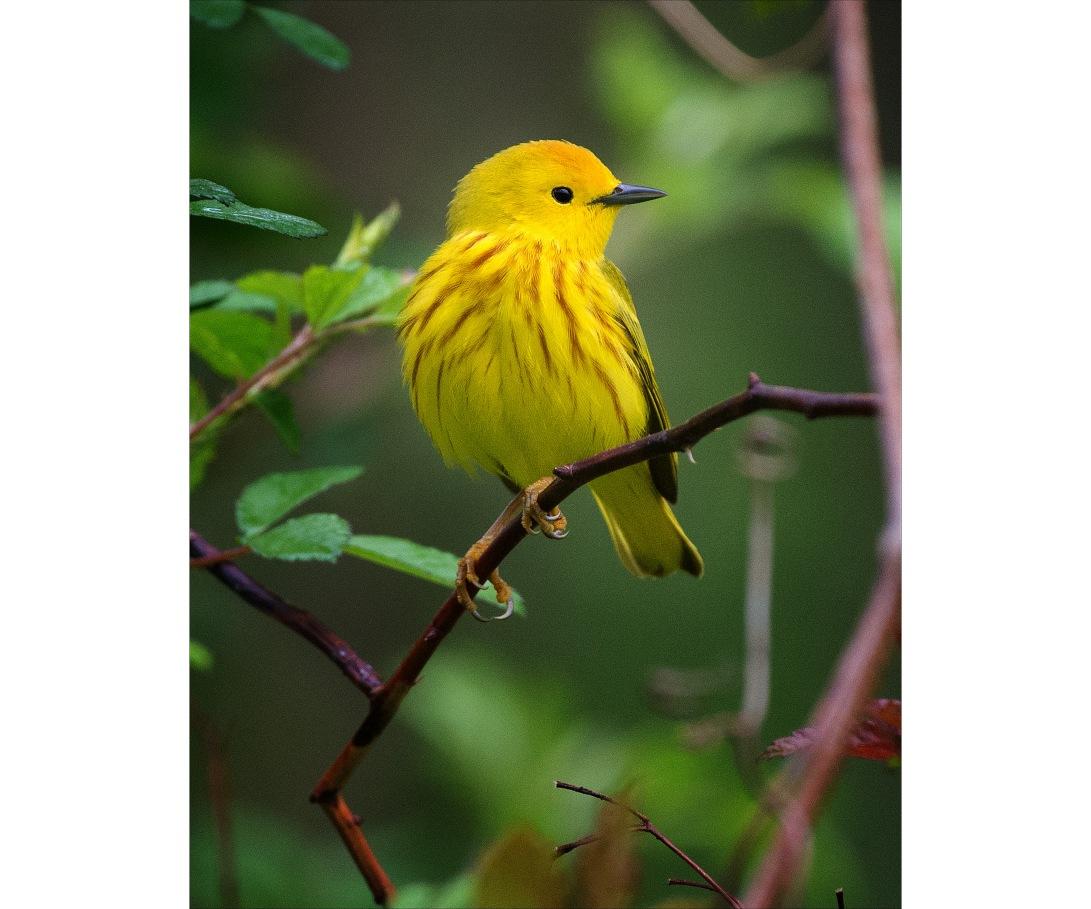 YellowWarbler19