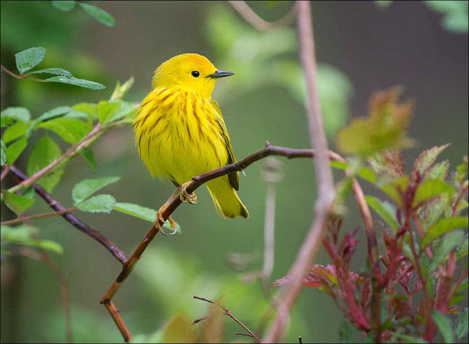YellowWarbler19_wordpress