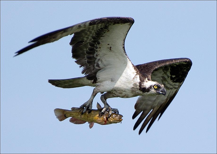 Osprey_wordpress