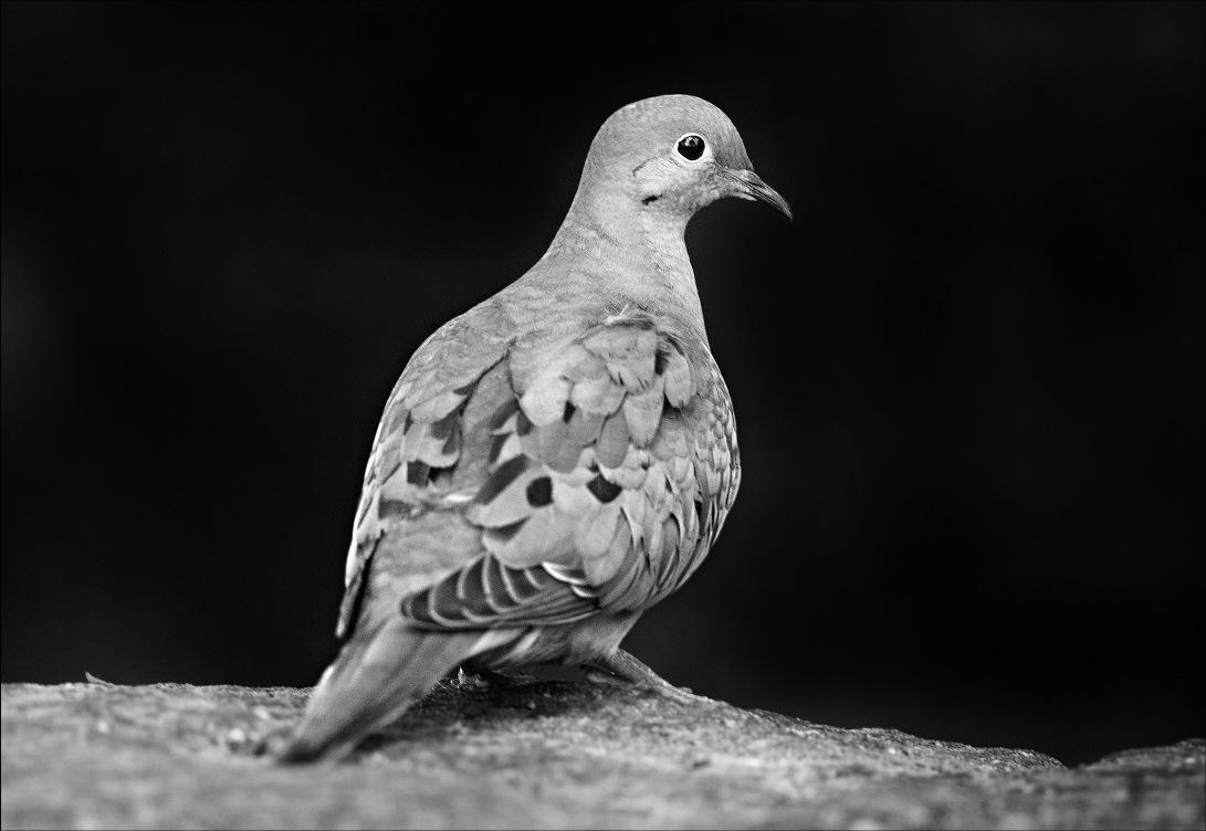 Dove_sharpened
