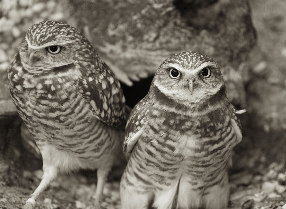 BurrowingOwls2_wordpress