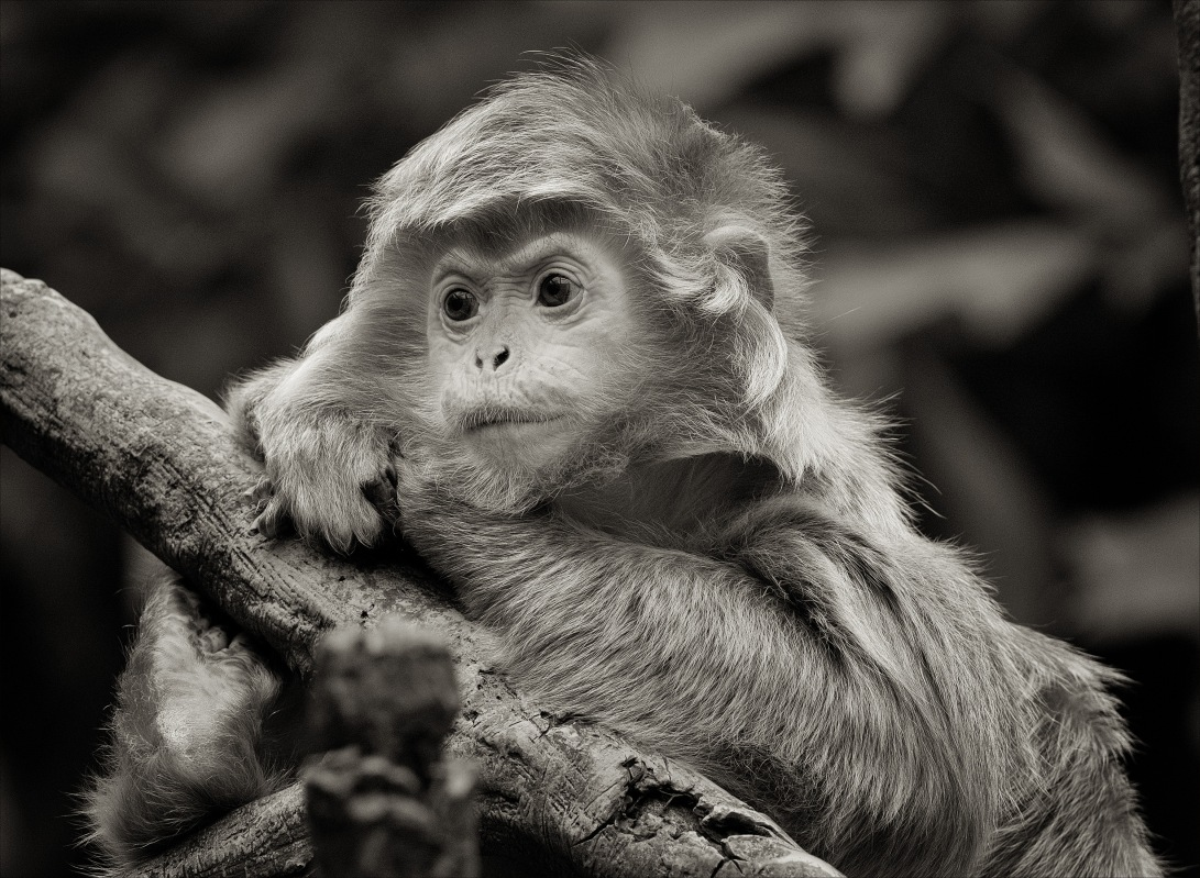 EbonyLangur_wordpress