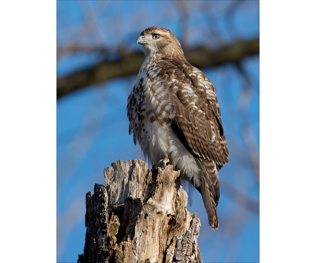 RedTail1_wordpress