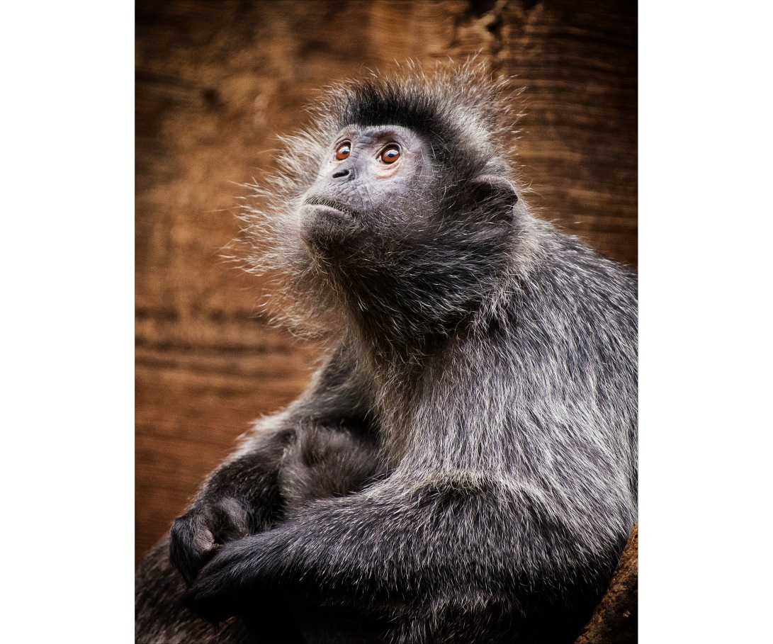 SilveredLeafMonkey_wordpress
