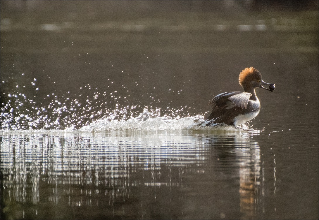 Merganser1_wordpress