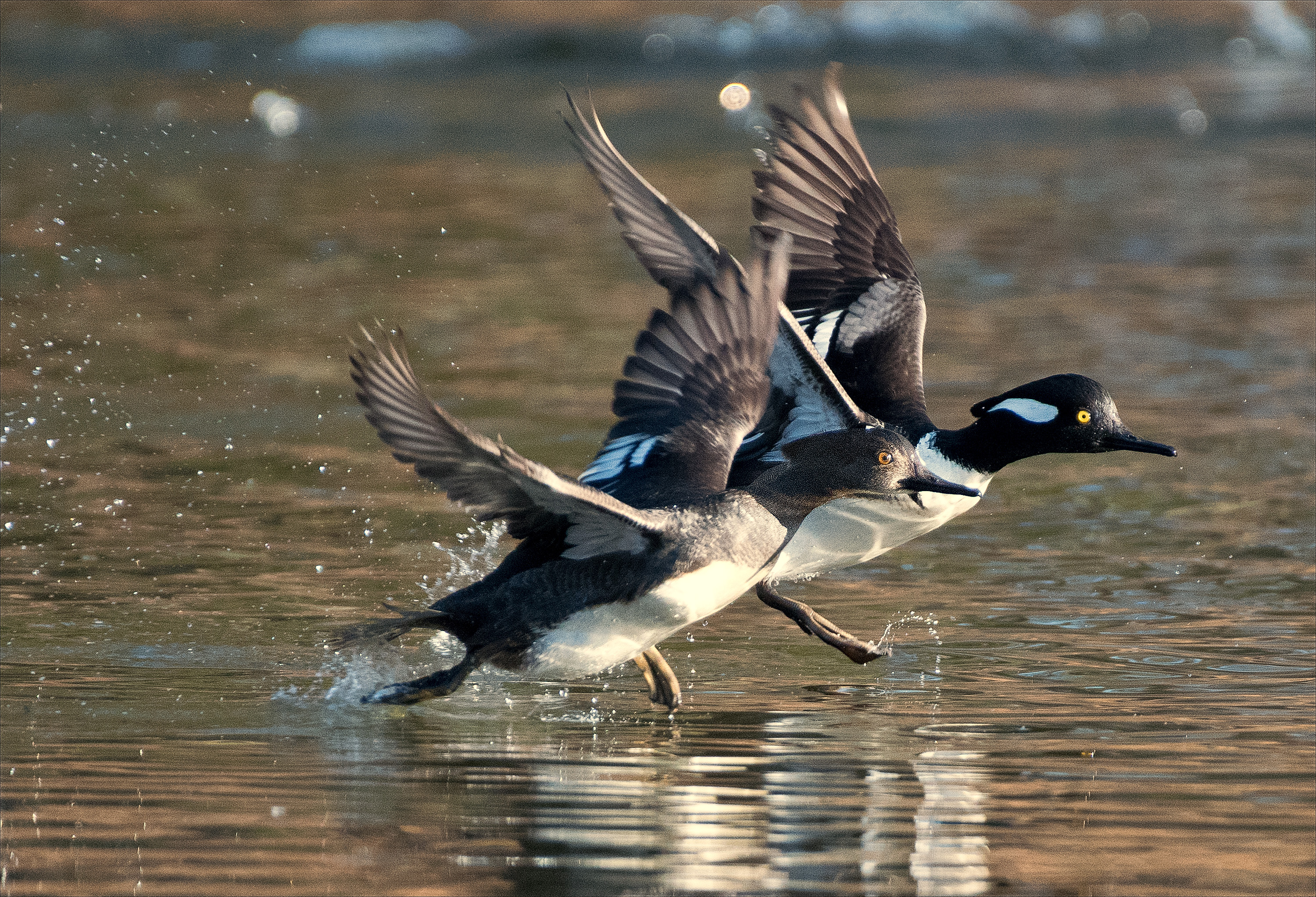 Mergansers3_wordpress