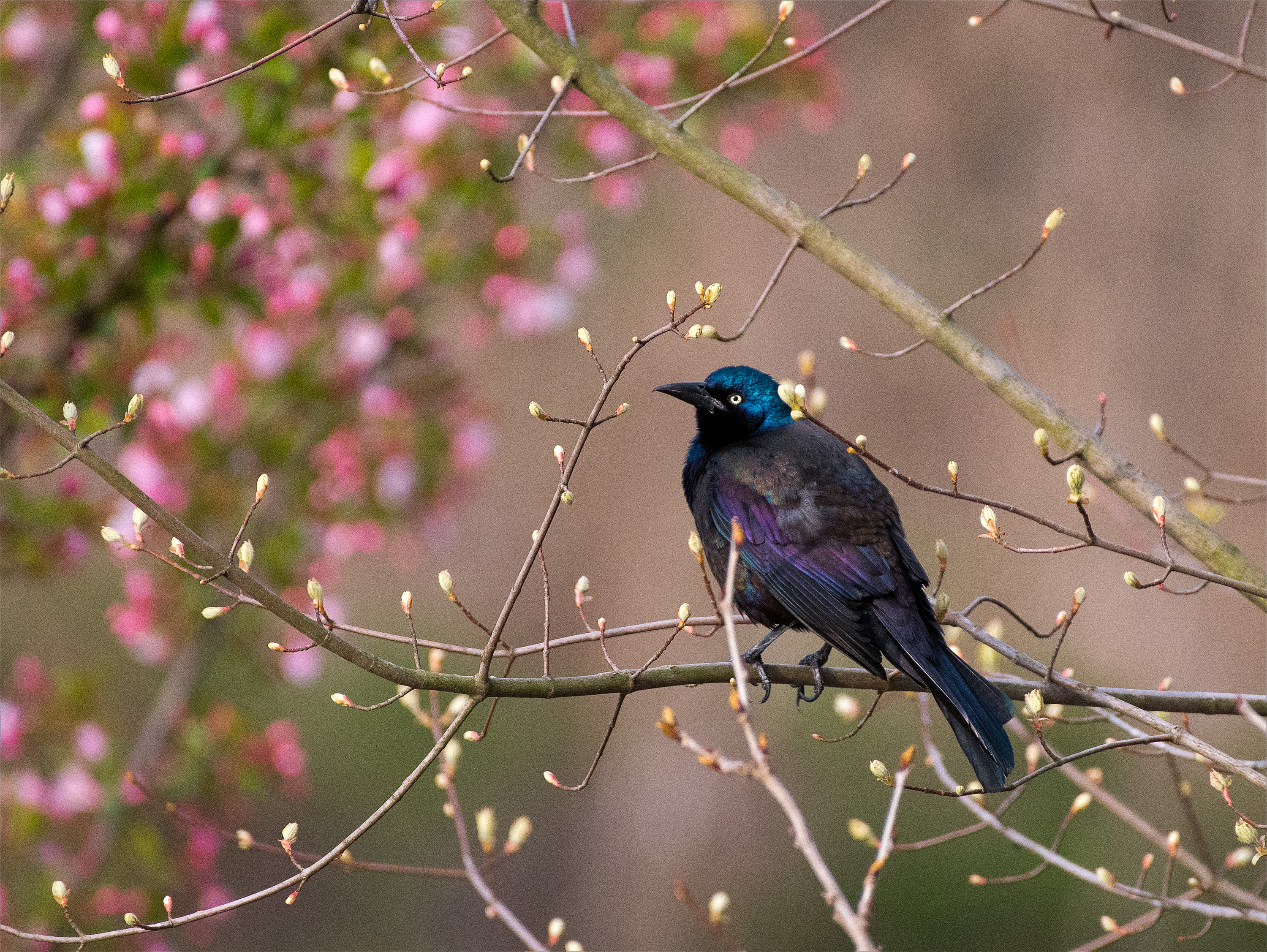 CommonGrackle_wordpress