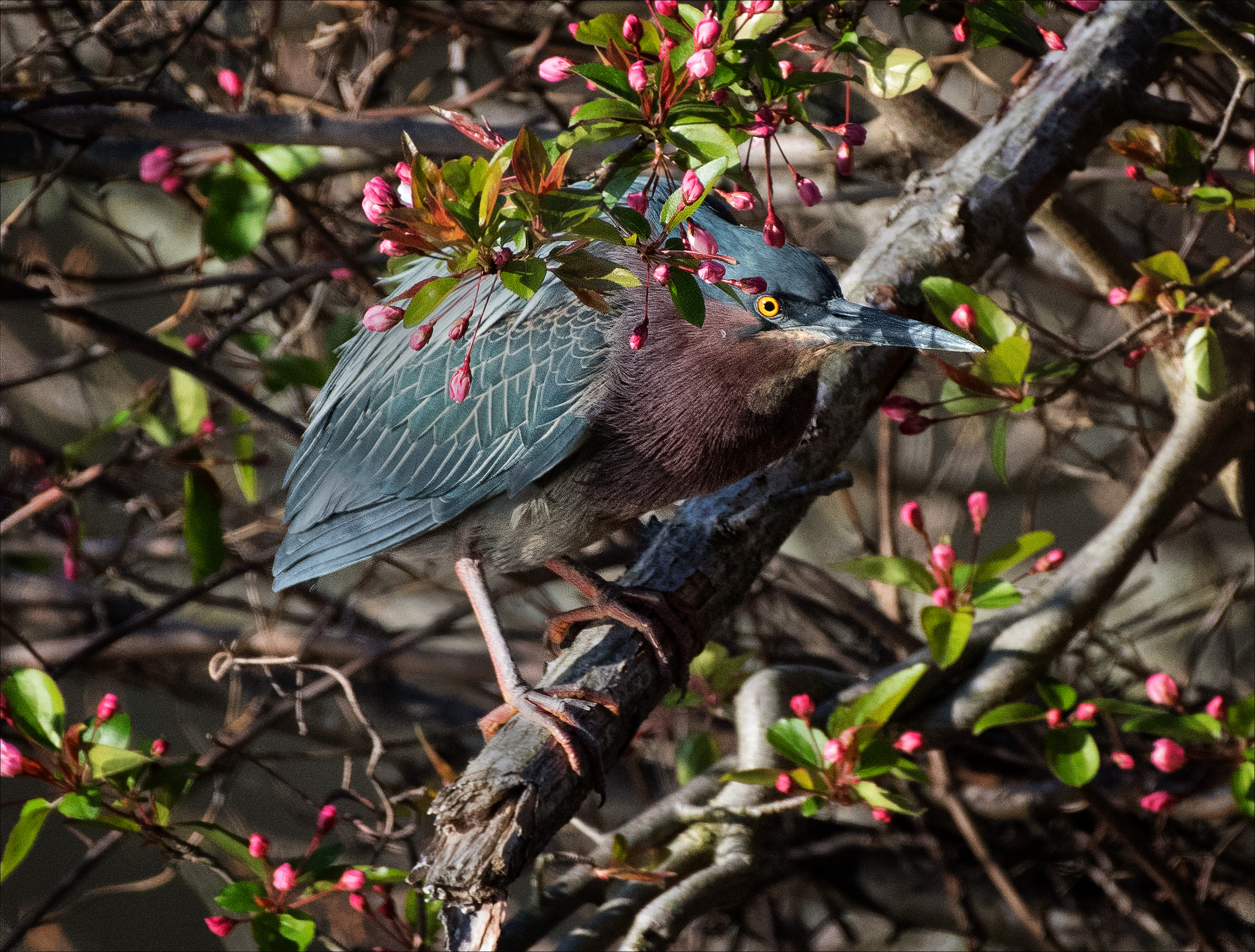 GreenHeron_wordpress