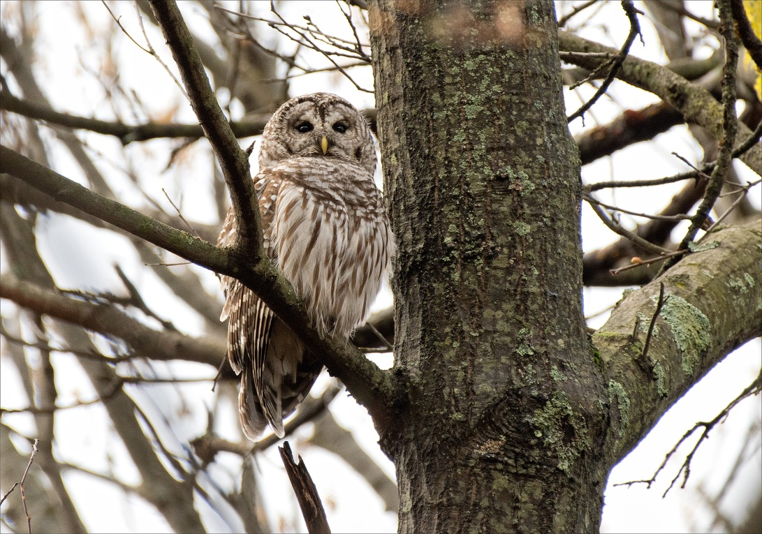 BarredOwl_wordpress