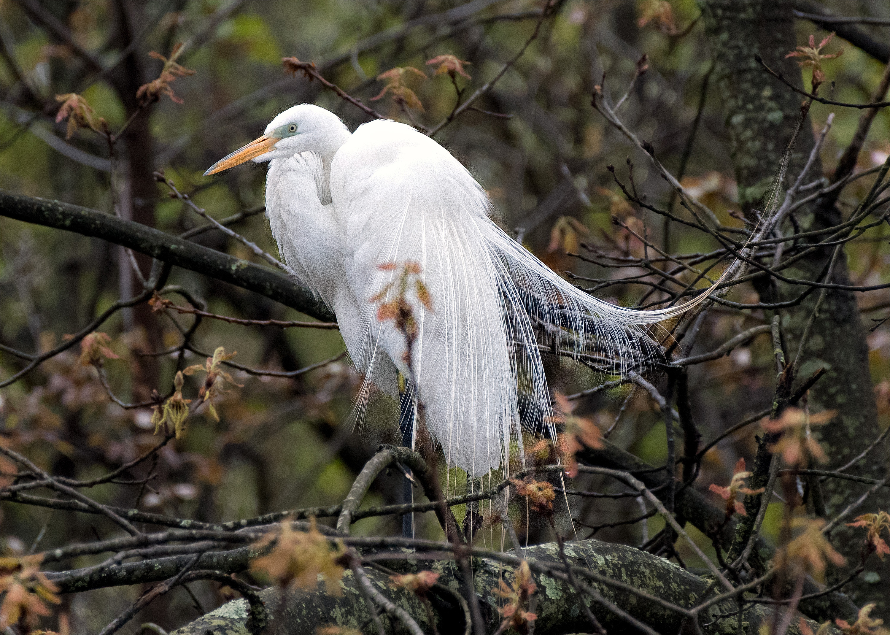 GreatEgret_wordpress