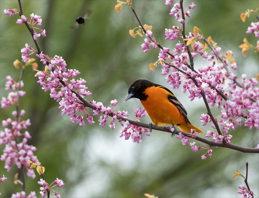 MaleOriole_wordpress