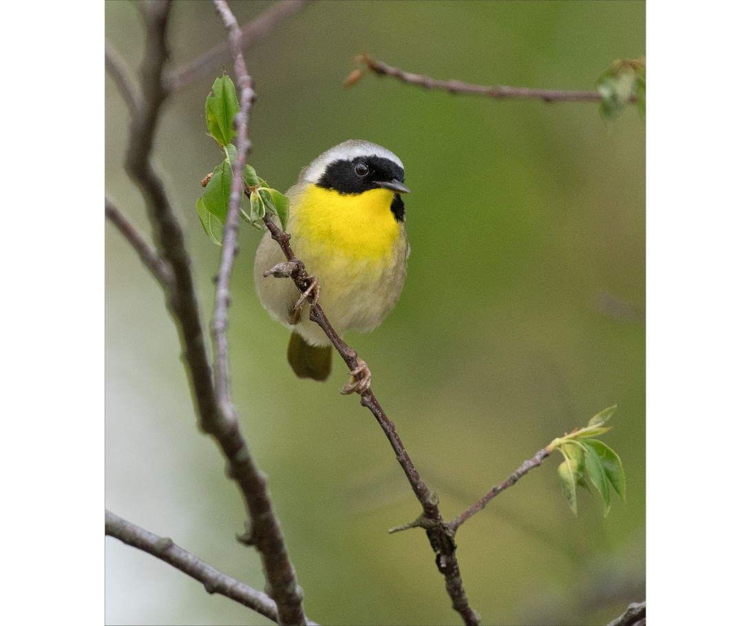 Yellowthroat_wordpress