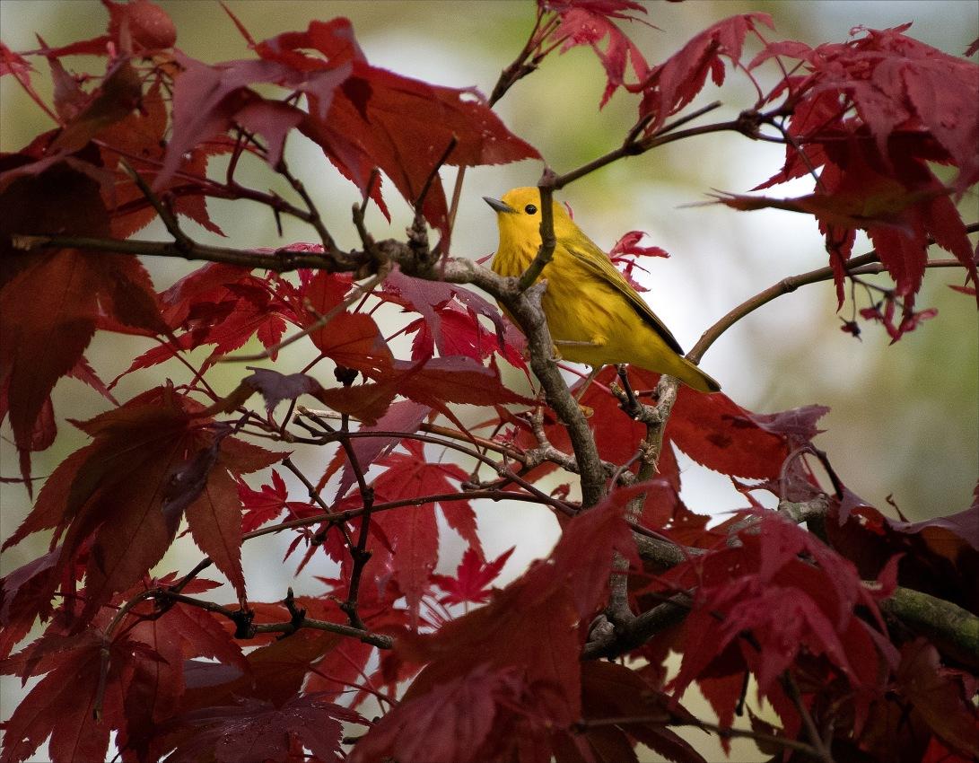 YellowWarbler3_wordpress