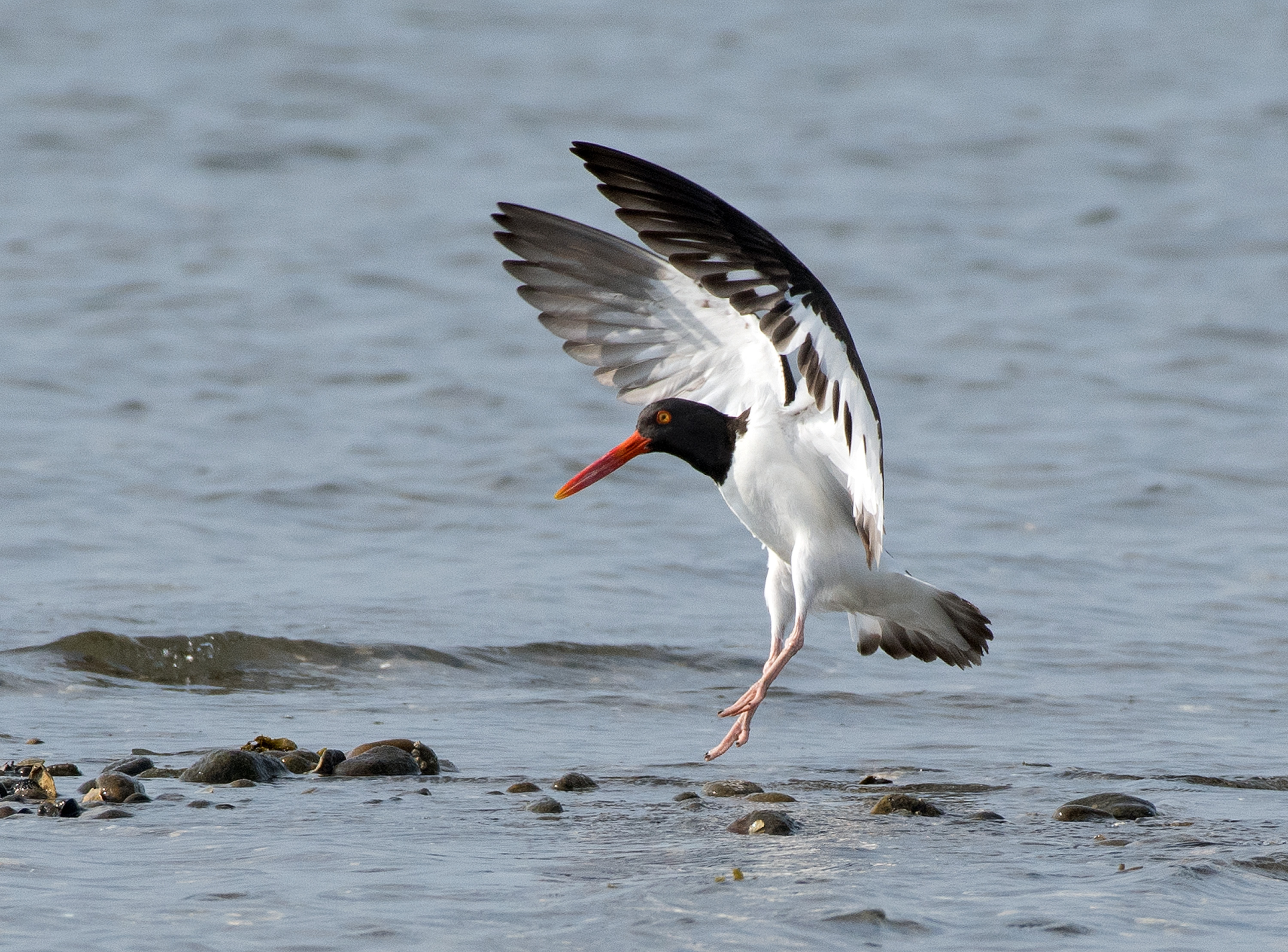 Oystercatcher_wordpress