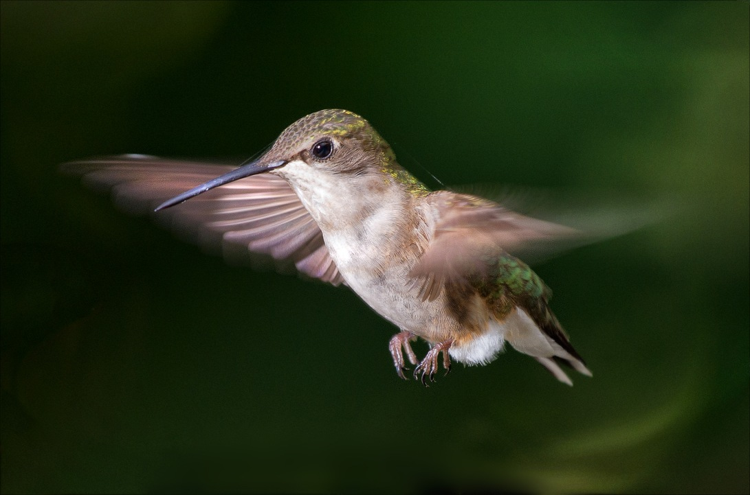 HummingbirdFlight_wordpress