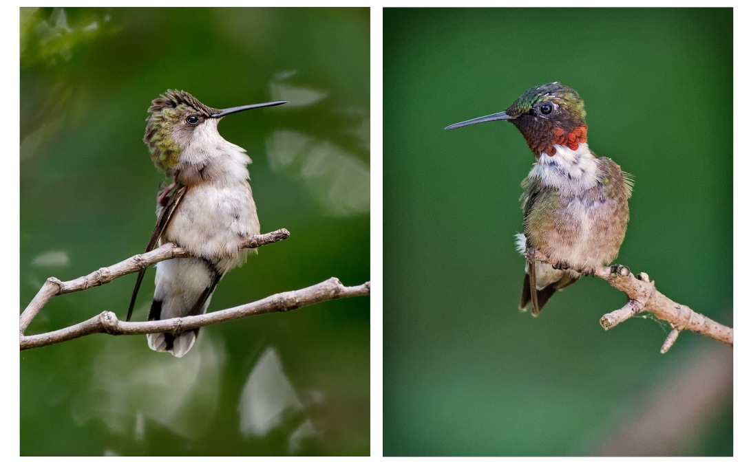 Hummingbirds_wordpress